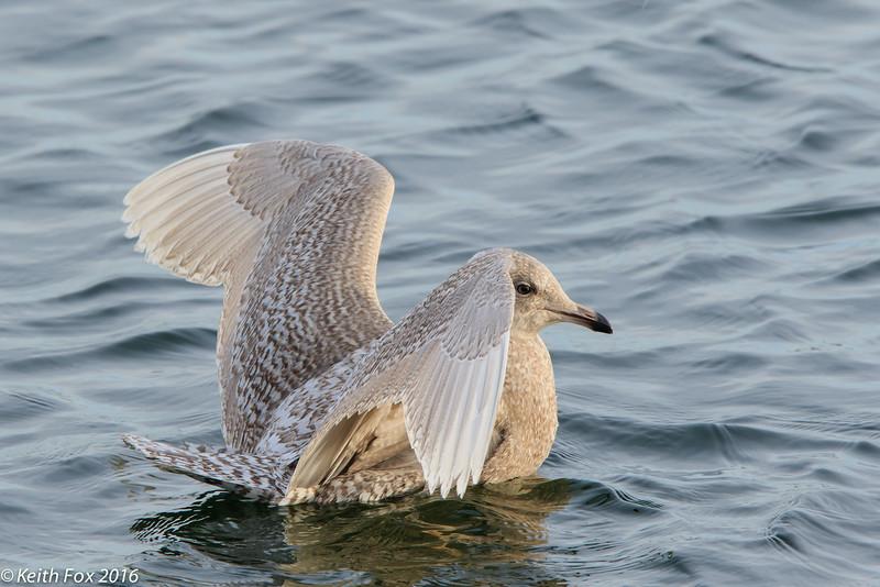 Larus glaucoides, Iceland gull, Gilleleje, Danmark, Feb-2016