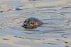 Spættet sæl, Harbor (common) seal, Phoca vitulina, Gilleleje, Danmark, Feb-2016