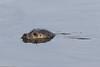 Spættet sæl, Harbor (common) seal, Phoca vitulina