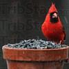 MET022416snowbirds cardinal