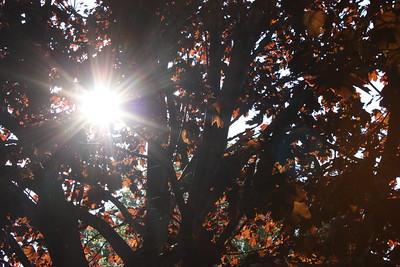 Sun through the maple