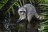 Corkscrew Sanctuary  Raccoon