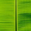 Bananna leaf