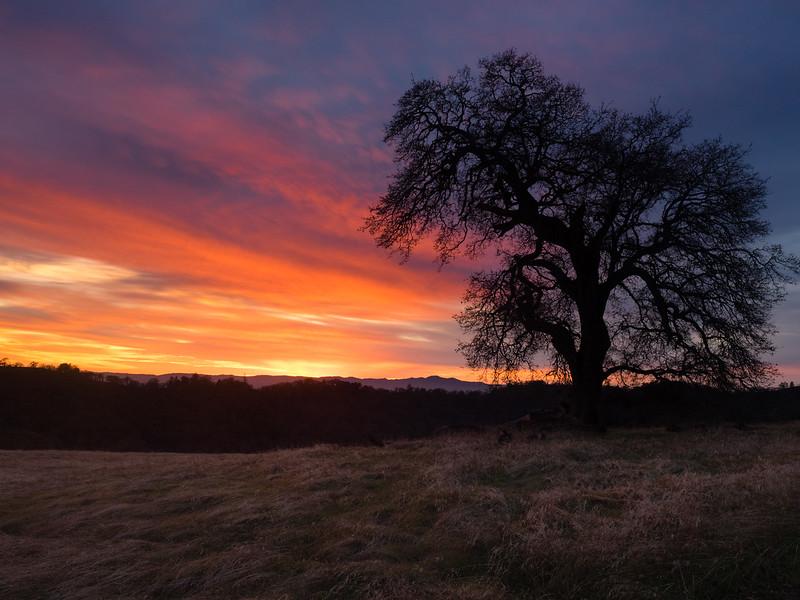 Oak at sundown