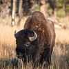 The first of many Bison to get in our way.
