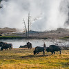 Bison in front of a big hot spring