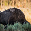 The first of many Bison to get in our way.<br /> <br /> I loved how the birds decided to hang on his back.