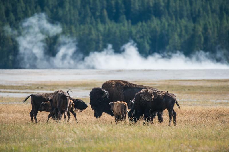 Found a few more Bison hanging out by the Grand Prismatic