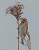 Reed bunting, Rørspurv, Emberiza schoeniclus