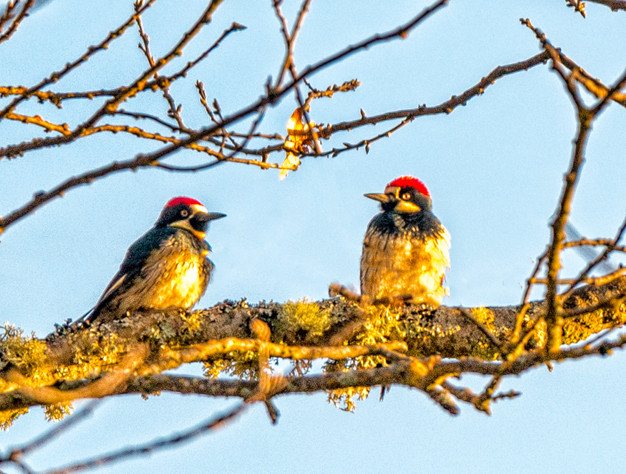 Acorn Woodpeckers-Sunrise