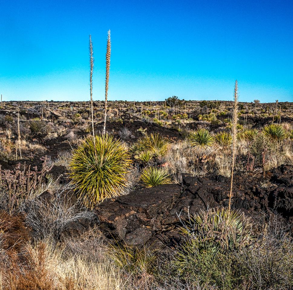 Sotol-Yucca