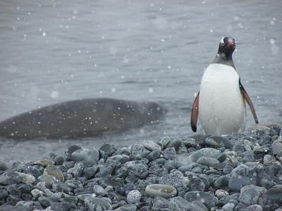 Penguin shots - Jennifer Caputo
