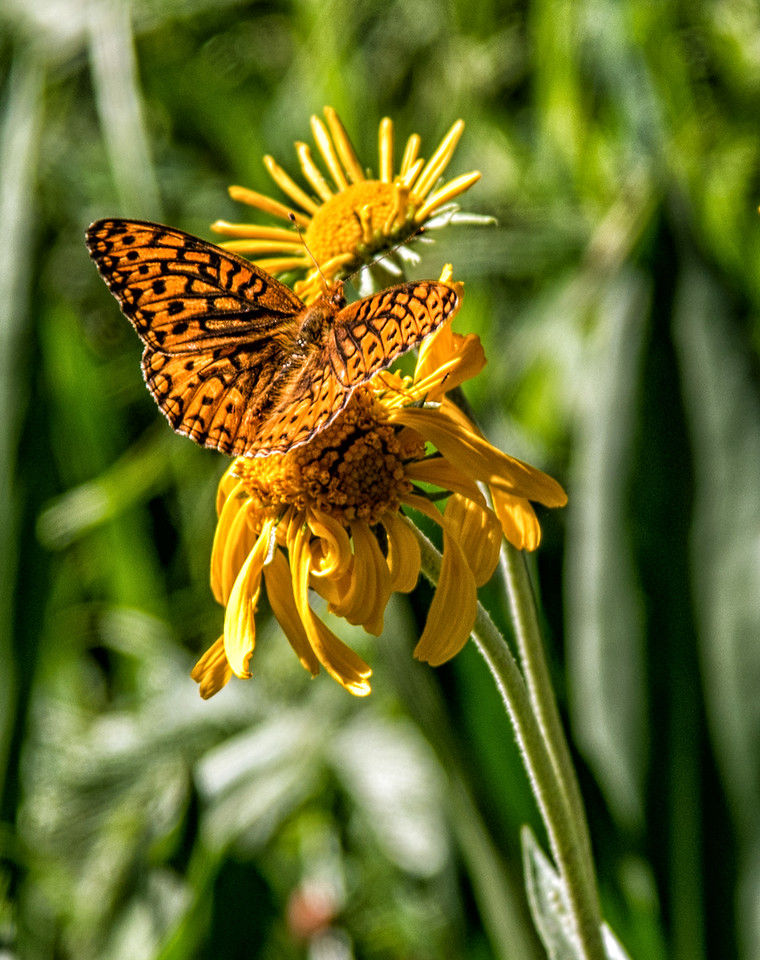 Butterfly at Maroon Lake