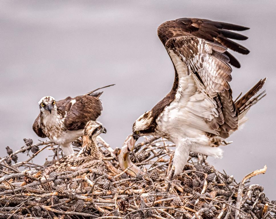 Osprey family lunch