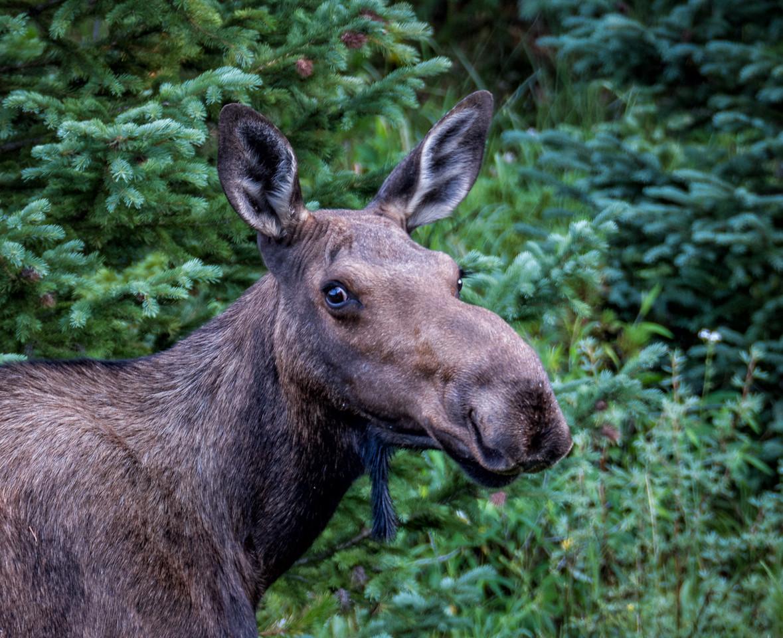 Smiley Moose