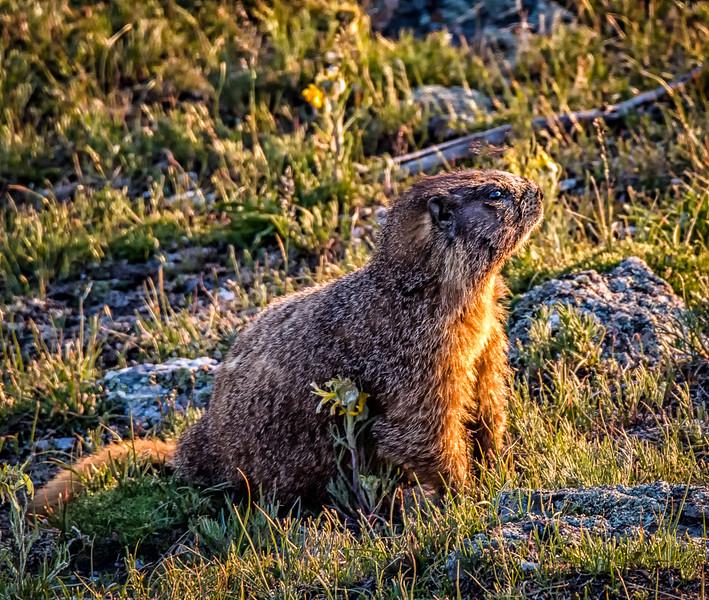 Marmot at sunset