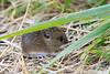 Yellow-necked mouse, Halsbåndmus, Apodemus flavicollis?