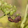 Stribetæge, Graphosoma lineatum, Striped shield bug, Gl. Holte, Danmark