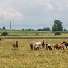 JOED VIERA/STAFF PHOTOGRAPHER-Gasport, NY- Horses graze on a field along Gasport Road.