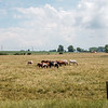JOED VIERA/STAFF PHOTOGRAPHER-Gasport, NY- Horses graze on a field along Gasport Road.