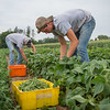 JOED VIERA/STAFF PHOTOGRAPHER- Lockport, NY-Samuel O'Keefe and Jed Reppenhagen pick peas on one of Hillers Farms fields.