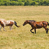 JOED VIERA/STAFF PHOTOGRAPHER-Gasport, NY- Horses run on a field along Gasport Road.