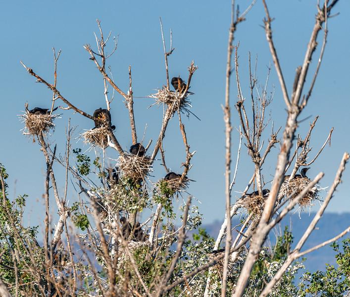 Cormorants Nesting