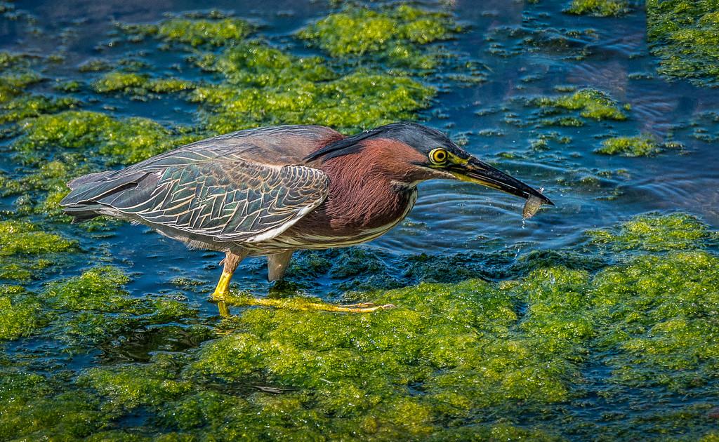 Green Heron with fish