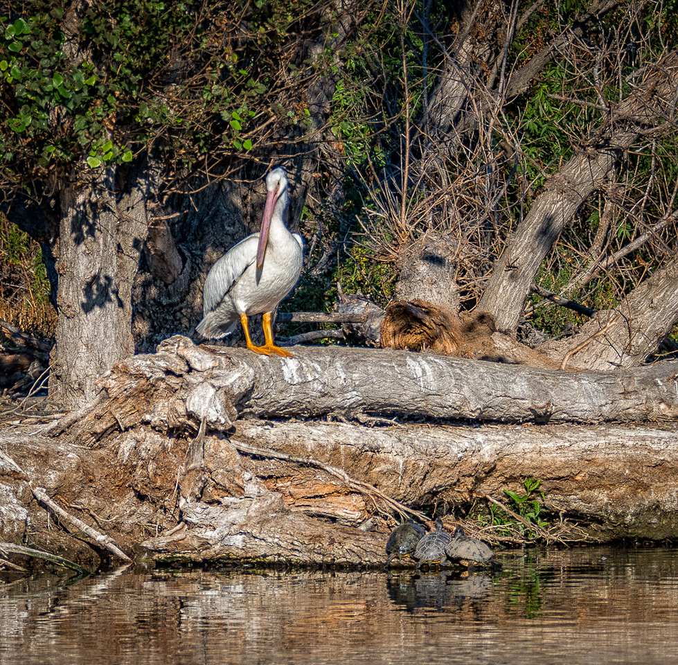 White Pelican and Turtles