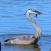 Heron (Crane) with fish.