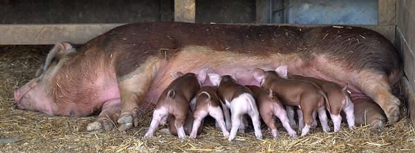 MET062416lkoch pigs