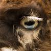 Eye of Alpaca has blue in iris
