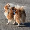 Sami, Pomeranian standing in wind in Jacobson Park.