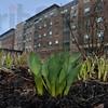 MET031116spring tulips