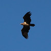 Juvenile Bald eagle flying over  the backyard.