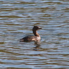 Scruffy diving duck Loch Raven.