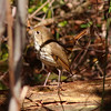 Hermit thrush Prettyboy boat launch area.