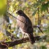 Broad wimged hawk?  Cromwell.