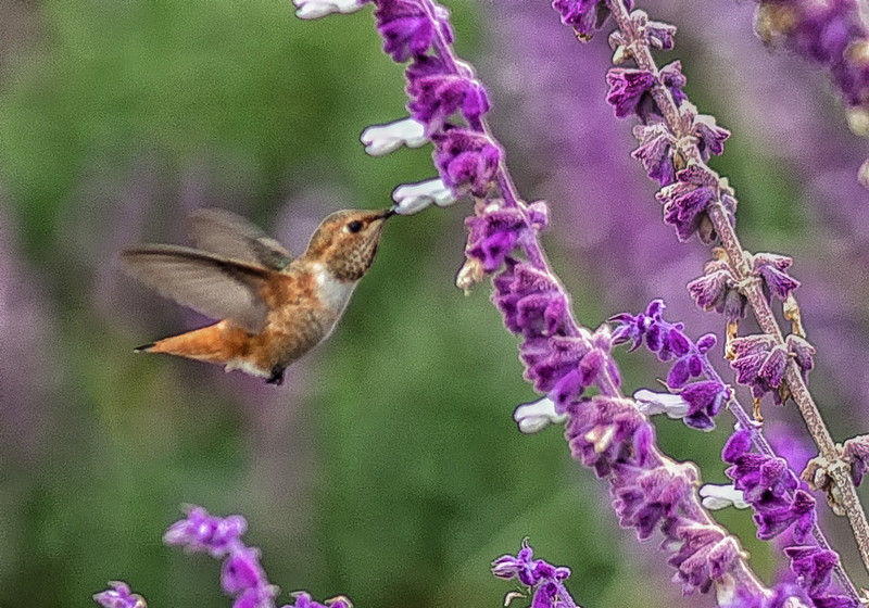 Allen's Hummingbird and Lavender