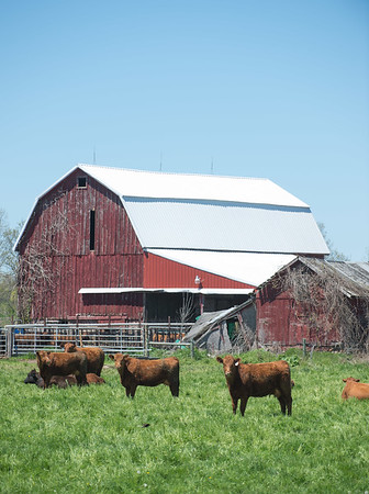 JOED VIERA/STAFF PHOTOGRAPHER-Lyndonville, NY- Cows break from grazing outside a barn.