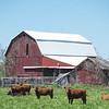 JOED VIERA/STAFF PHOTOGRAPHER-Lyndonville, NY- Cows break from grazing outside a barn.