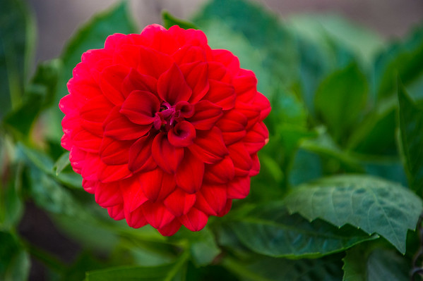JOED VIERA/STAFF PHOTOGRAPHER-Lockport, NY-A flower blooms outside a Maple Street home.