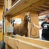 JOED VIERA/STAFF PHOTOGRAPHER-Wilson, NY-Melissa Koser walks Hemi into a stable at MK Quarter Horses.