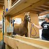 JOED VIERA/STAFF PHOTOGRAPHER-Wilson, NY-Melissa Koser walks Hemi into a stable at MK Quarter Horses.