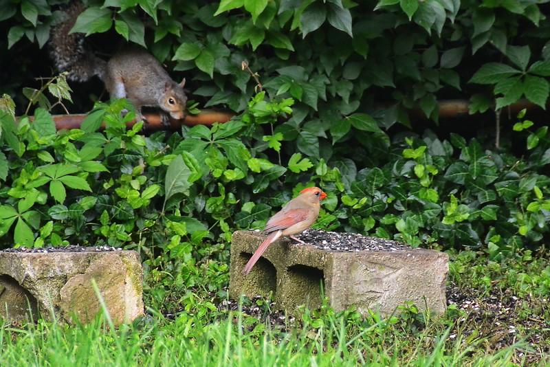 Red Bird-(Cardinal) and Squirrel,