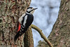 Great Spotted Woodpecker, Dendrocopos major, Male, Vaserne, Holte, Denmark, Mary-2016
