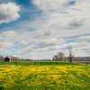 JOED VIERA/STAFF PHOTOGRAPHER-Wilson, NY-Clouds pass over a daffodil filled field on Wilson-Cambria Road.
