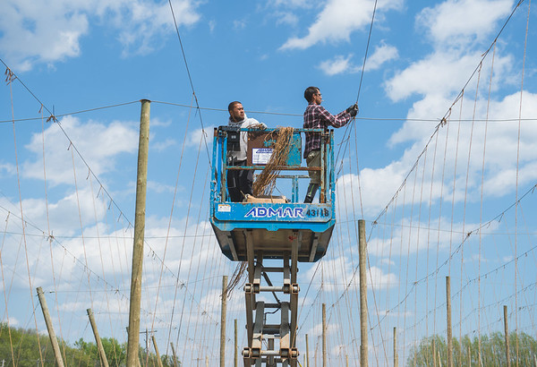 JOED VIERA/STAFF PHOTOGRAPHER-Wrights Corners, NY-David Le and Brian Ranny set up vines for hop bines at Vertical Vines.