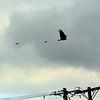 Vulture Turkey Buzzard