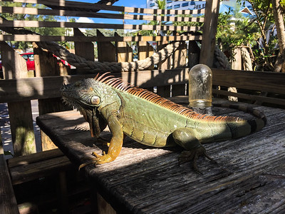 Iguana at lunch.